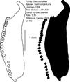 Monogenea 120 Page 053 Gastrocotyle kurra Unnithan, 1968 Gastrocotylidae.png