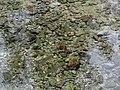 Montanejos. Fuente de los Baños. Madrijas (chondrostoma turiense) 2.jpg