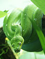 Morelia viridis 5.jpg