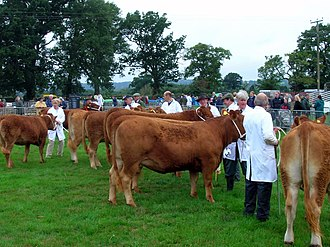 South Devon cattle - Example of placement