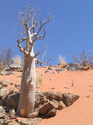 Moringa - M. ovalifolia in Namibia
