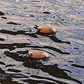 Moscow, ruddy shelducks on Vodootvodny Canal 01.jpg