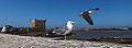 Mouettes Seagulls (11533668486).jpg