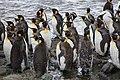 Moulting King Penguins (5817055522).jpg