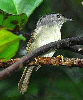 Mountain Fulvetta.jpg