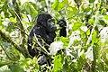 Mountain gorilla (Gorilla beringei beringei) 03.jpg