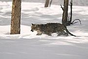 Puma dans la neige