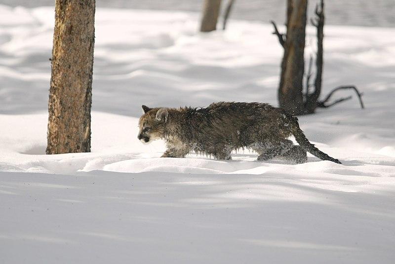 Fichier:Mountain lion in snow.jpg