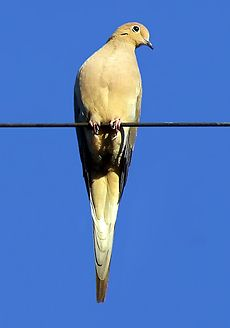 Brown dove perched on a wire against a blue sky background