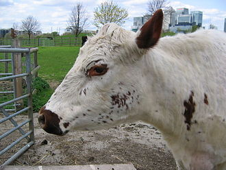 Urban agriculture - A cow at Mudchute Park and Farm, Tower Hamlets, London. Note Canary Wharf in the background.