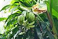 Musa acuminata × balbisiana 01.JPG