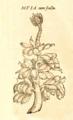 Musa fruits Daléchamps 1586 Historia plantarum 2 1839.png