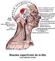Muscles de la tete - Superior auricular muscle.png
