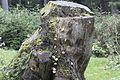 Mushrooms on a spruce trunk, Giresun 2016 01-1.jpg
