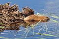 Muskrat pair feeding Lacreek NWR 02 (13676698885).jpg