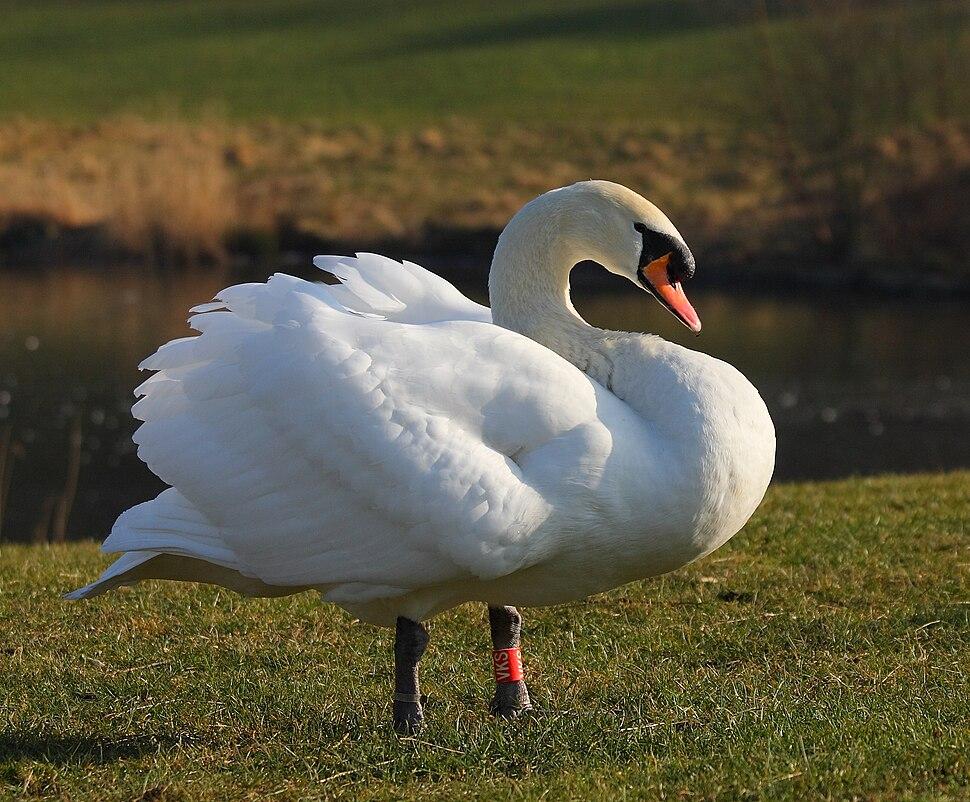 Mute swan male