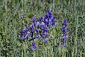 NSG-00576.01 Riedholz und Grettstädter Wiesen, Iris sibirica 20170527 012.jpg