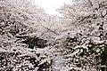 Nakameguro 2009-04-05 (3449272098).jpg