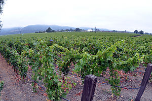 English: Napa Valley OpusVines Photo D Ramey L...
