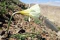 Narcissus peroccidentalis kz08.jpg