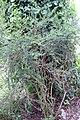 Nashia inaguensis 15zz.jpg