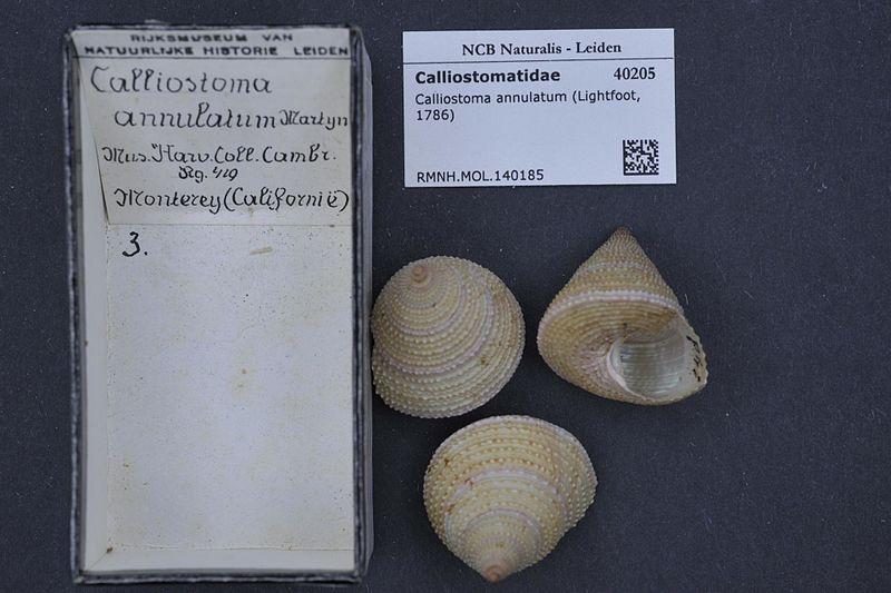 File:Naturalis Biodiversity Center - RMNH.MOL.140185 - Calliostoma annulatum (Lightfoot, 1786) - Calliostomatidae - Mollusc shell.jpeg