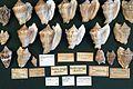 Naturalis Biodiversity Center - ZMA.MOLL.46196 - Lobatus raninus (Gmelin, 1791) - Strombidae - Mollusc shell.jpeg