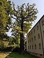 Naturdenkmal Stiel-Eiche (Quercus robur) in der Grünfläche vor dem Haus Jakob-Wolff-Straße 19-21-23 20170825 125810.jpg