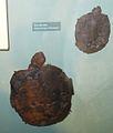 Neochelys franzeni 2.jpg