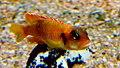 Neolamprologus ocellatus gold - Aqua Porte doree 08.JPG