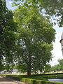 Neuhaus - Platane am Schloss 2.jpg