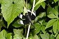 Neurothemis tullia-male 7593.jpg