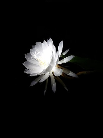 Night-blooming cereus - A night-blooming cereus in full bloom