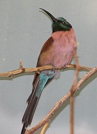 Northern Carmine Bee Eater.jpg