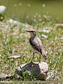Northern Wheatear (Oenanthe oenanthe) (35037983813).jpg