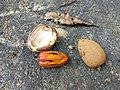 Nutmeg seeds Anaimalai hills IMG 20180418 073829001.jpg