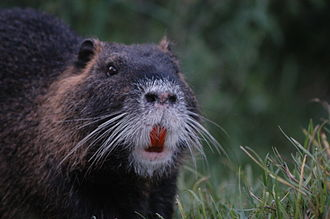 Coypu - Large orange teeth are clearly visible on this coypu