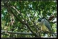 Nycticorax nycticorax nycticorax (5274424756).jpg