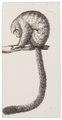 Nyctipithecus spec. - 1809-1845 - Print - Iconographia Zoologica - Special Collections University of Amsterdam - UBA01 IZ20200216.tif