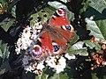 Nymphalidae - Aglais io - 3.jpg