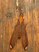 Nymphes myrmeleonoides (12250600113).jpg