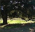 Oakmont Park, Oak 2-17-13 (8537613482).jpg