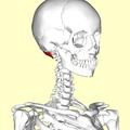 Obliquus capitis superior muscle04.png