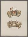 Ocypoda ceratophthalma - - Print - Iconographia Zoologica - Special Collections University of Amsterdam - UBAINV0274 094 01 0003.tif
