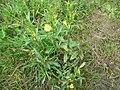 Oenothera biennis 20050825 940.jpg