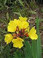 Oenothera tetragona02.jpg