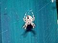 Okanogan-Orb weaver spider-002.jpg