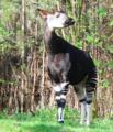 Okapi-Wald2.png