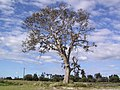 Old Tree - panoramio (2).jpg
