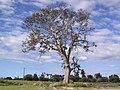 Old Tree - panoramio (2).jpg